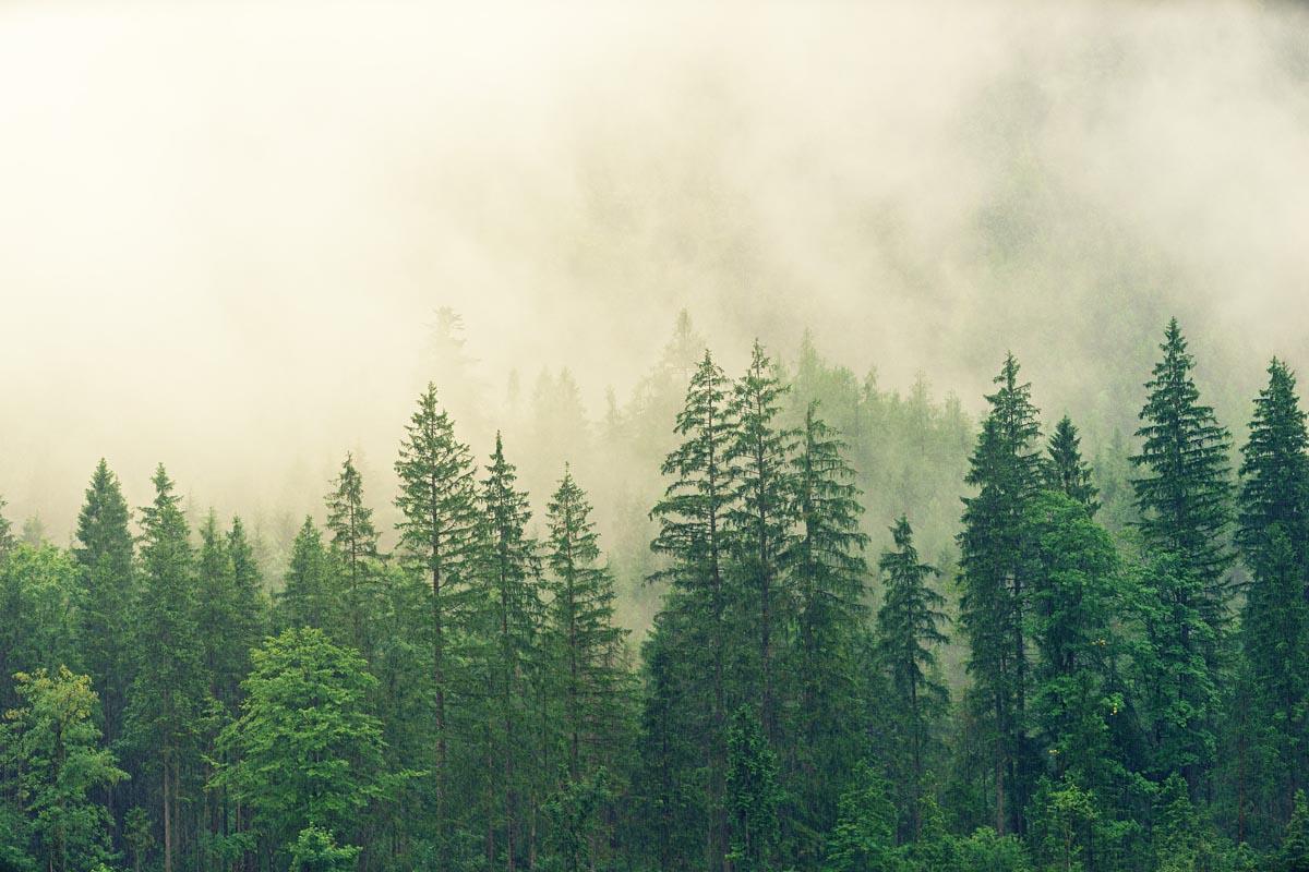 Der Rohstoff Holz in Deutschland - Fichtenwald